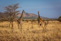African Giraffes walks. African Giraffe walks. Photo taken during the safari in Serengeti national park. Tanzania stock image