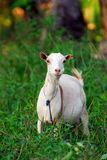African goat. A portrait of an african goat on a natural green background Stock Photos