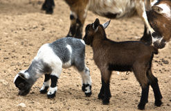 African goat family. African Goats are considered small livestock animals, compared to bigger animals such as cattle, camels and horses, but larger than Royalty Free Stock Photos