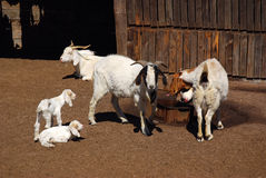 African goat farm Stock Photography