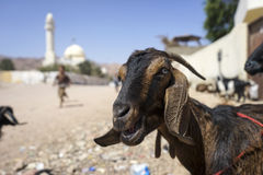 The african goat. The local goat of the  Nubian breed  on the street of Dahab . Egypt Royalty Free Stock Image