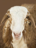 African goat. Picture taken in Senegal Royalty Free Stock Images