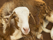 African goat. Picture taken in Senegal Stock Photography