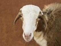 African goat. Picture taken in Senegal Stock Photos