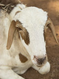 African goat Royalty Free Stock Images