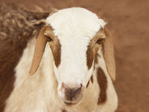 African goat Royalty Free Stock Image