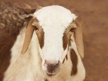 African goat. Picture taken in Senegal Royalty Free Stock Image