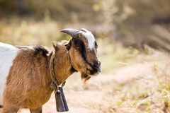 African goat. Typical African goat roaming freely in the Botswana bush Royalty Free Stock Images