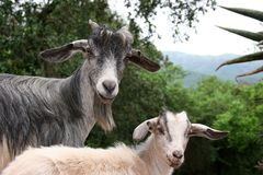 African goats Stock Image