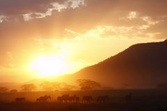 African Golden Glow. Golden sunset lights gives animals and trees a magical glow on the African plains Royalty Free Stock Photos