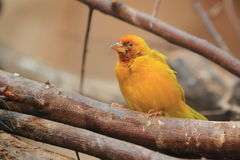 African golden weaver Royalty Free Stock Photography