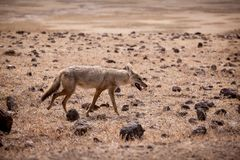 African golden wolf Canis anthus royalty free stock image