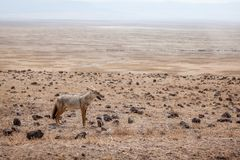African golden wolf Canis anthus stock photo