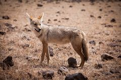 African golden wolf Canis anthus stock photography