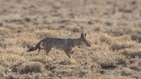 African Golden Wolf in Field stock photo