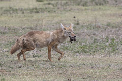 African golden wolf which goes on savanna and bears in the mouth Royalty Free Stock Photos