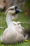 African Goose Royalty Free Stock Photos
