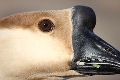 African Goose Royalty Free Stock Photo