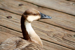 African Goose Closeup Against Wood Background Royalty Free Stock Photo