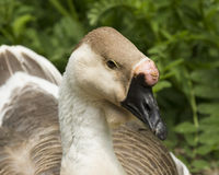 African goose. Nesting at the edge of a pond Stock Photography