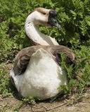 African Goose. Soaking up the spring sunshine Stock Photos