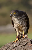 African Goshawk. A captive bred African Goshawk perches on a log Royalty Free Stock Image