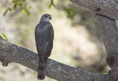 African Goshawk (Accipiter tachiro) in South Africa Stock Photography