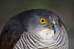 African Goshawk Bird Royalty Free Stock Photo