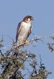 African Goshawk - Botswana Royalty Free Stock Image