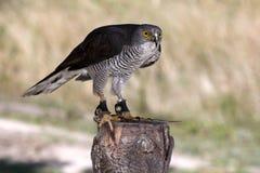 African Goshawk Raptor Bird Stock Photo