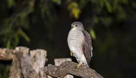 African Goshawk (Accipiter tachiro) Perching on Post in South Afr Royalty Free Stock Image