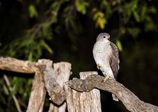 African Goshawk (Accipiter tachiro) in South Africa Royalty Free Stock Photos