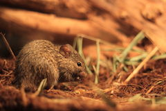 African Grass Rat Royalty Free Stock Images