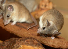 African grass rats cleaning itself Royalty Free Stock Photo