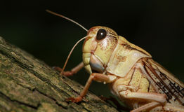 African grasshopper Royalty Free Stock Images