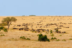 African grassland with wildebeest and zebra grazing. Wide grassland landscape of African savanna with wildebeest and zebra grazing, seasonally migrating for food Royalty Free Stock Photo