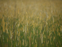 African Grasslands. African Savannah Grass in Zambia Royalty Free Stock Image
