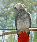 African Gray Royalty Free Stock Photography