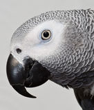 African Gray Max parrot royalty free stock images