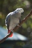 African Gray Parrot Stock Photos