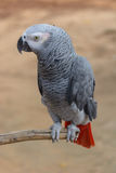 African Gray Parrot Royalty Free Stock Photography