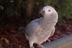 African gray parrot. Outdoor posing Stock Image