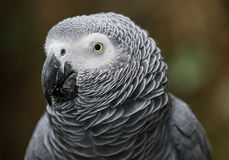 African Gray Parrot Portrait Royalty Free Stock Photos