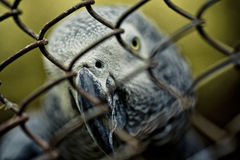 African Gray Parrot Royalty Free Stock Photo