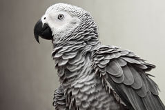 African Gray Parrot Royalty Free Stock Images