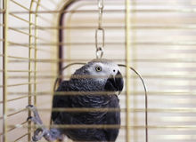 African gray parrot (Psittacus erithacus) Royalty Free Stock Image