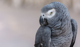 African Gray Parrot Stock Photography