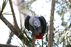 African gray parrot tropical bird looking curious Stock Photos