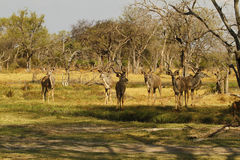African Greater Kudu Bull Herd Royalty Free Stock Image