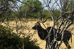 African Greater Kudu Bull Royalty Free Stock Photos
